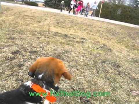 Four Days Later... with Lucy the Beagle  http://www.FixThatDog.com - Before training with Fix That Dog, Lucy the Beagle had some issues with manners around other dogs, and being a beagle liked to vo... From: Ashton Fitz-Gerald Views: 417      2 ratings Time: 01:08 More in Pets & Animals