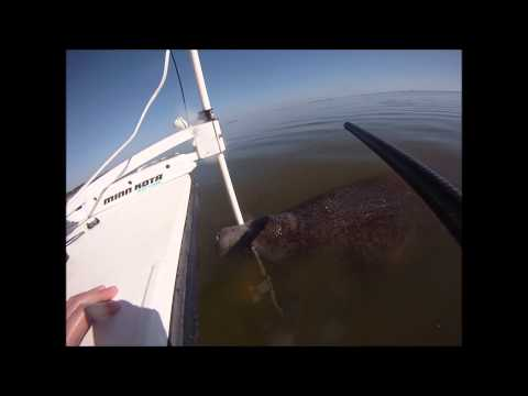 Manatee Encounter in Cocoa Beach, Florida