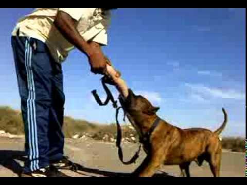 agadir dressage de chiens-