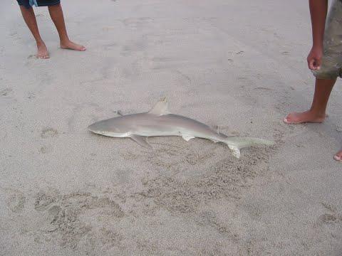Dusky shark for Myrtle beach shark fishing