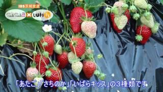 生産者さんこんにちは。「水戸市内原のイチゴ」〈水戸市〉IBS(2016.3.29)