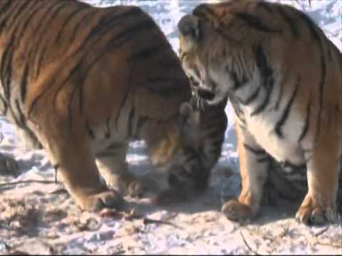 Artificial breeding saving Siberian tigers in China