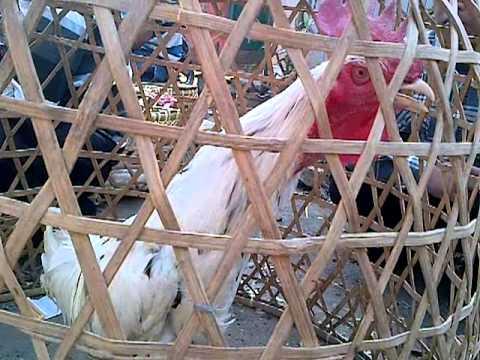 Si Putih Ayam Pelung Garut.3gp video