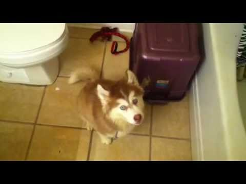 Husky pup arguing about taking a bath