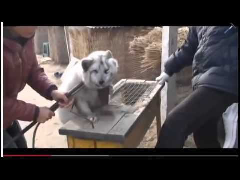 SHOCKING VIDEO    PIGS ANIMAL CRUELTY   DOGS + CATS SKINNED ALIVE IN ASIA!