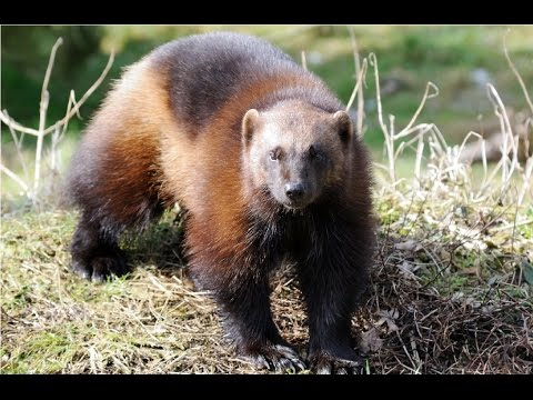 Amazing Facts About Wolverines