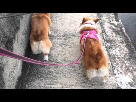 コーギー犬のお尻フリフリな歩き方が和む♪