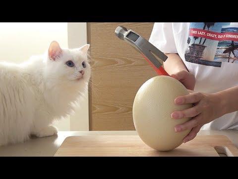 고양이들에게 초대형 타조알을 깨줬더니...!