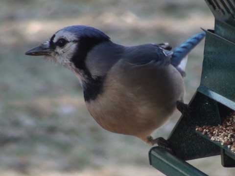 Blue Jay - HD Mini-Documentary Video