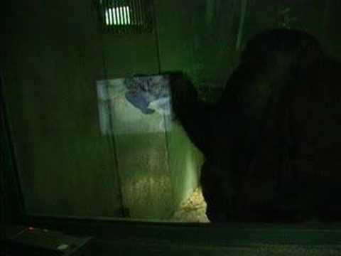 Contagio bostezo Chimpances Contagious yawning chimpanzees