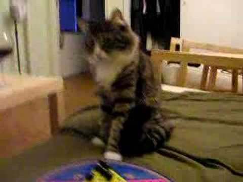 My smart maine coon cat Video