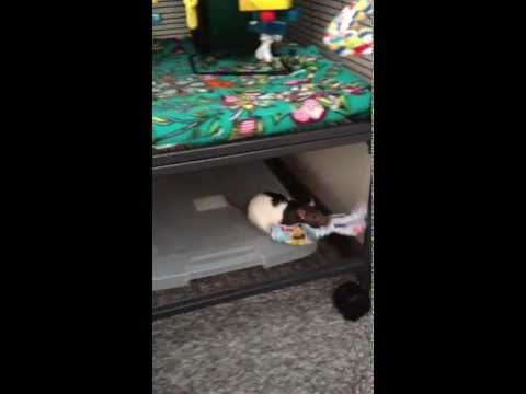 Cute Rat Carrying Newspaper Strips Into her Cage