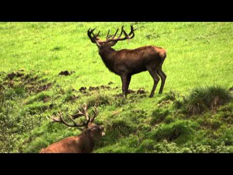 majestic-stags-on-berleburg-hunters-video.html