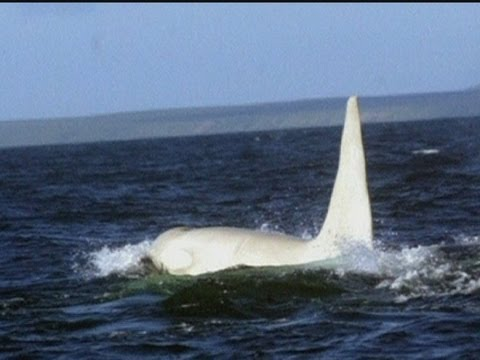 Scientists see first ever adult white orca whale