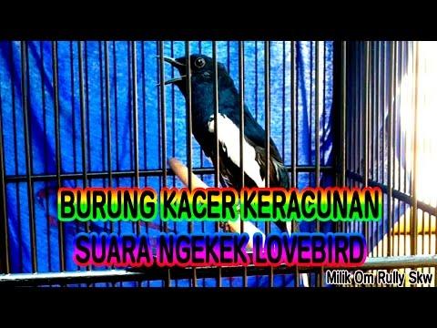 Burung Kacer Keracunan Suara Ngekek LoveBird