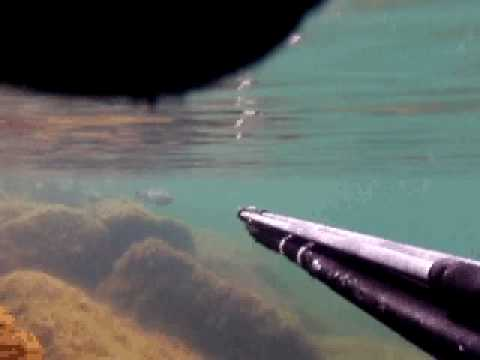 Multe headshot spearfishing