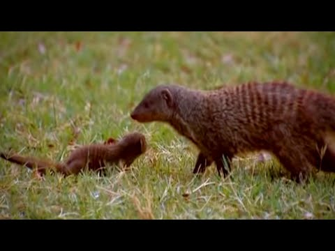 Fighting on all Fronts - Banded brothers (The mongoose mob) - BBC