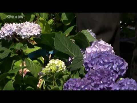 Sommerblüher Hortensien | Kaffee Oder Tee?