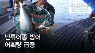 월투R)강원동해안 어획량, 난류어종 방어 2~3위