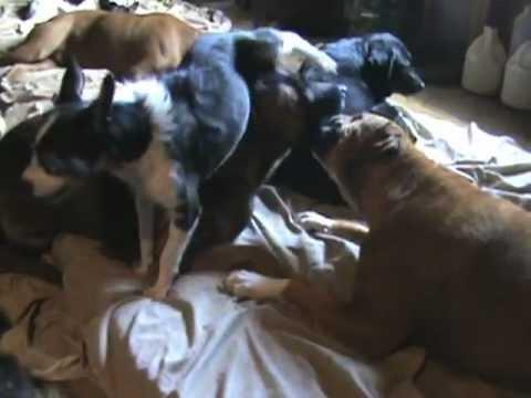 Funny Dog Threesome