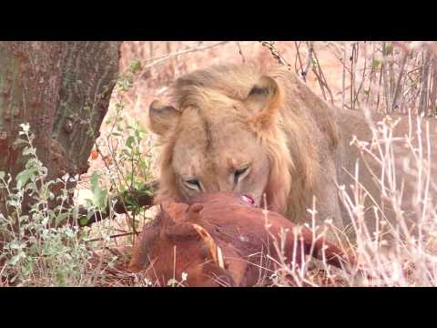 The Lion, The Warthogs and The Jackals