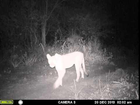 Puma en Los Tapires