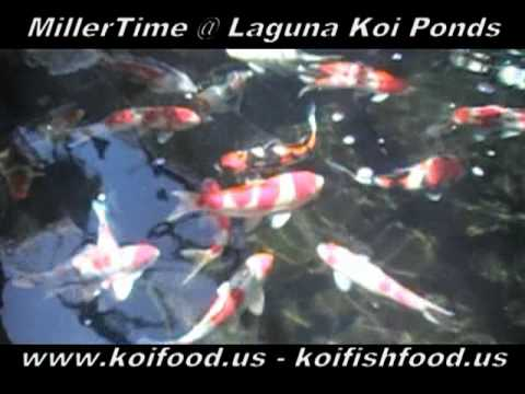 KOI FOOD Even the koi fish love MillerTime koi food 059
