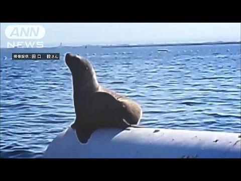富山湾にひょっこりトド出現 たたずむ姿をカメラに(14/10/22) - YouTube