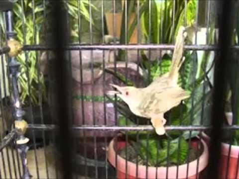 Kicau Burung - Prenjak video