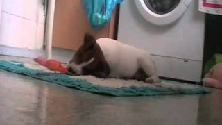 Jack Russell Terrier playing with a toy