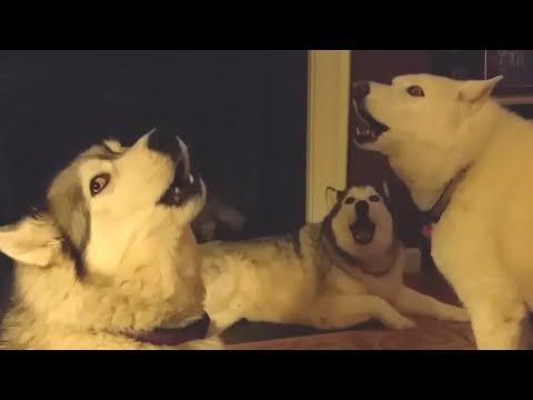 超低音で歌う犬とバックには遠吠えするハスキー。変過ぎる大合唱