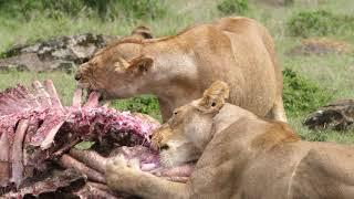 Hyena  Lion Conflict 1
