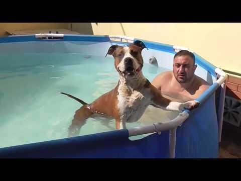 КАРЛО ЧУТЬ НЕ УМЕР РЕПОРТАЖ американ стафф купается с хозяином в бассеине
