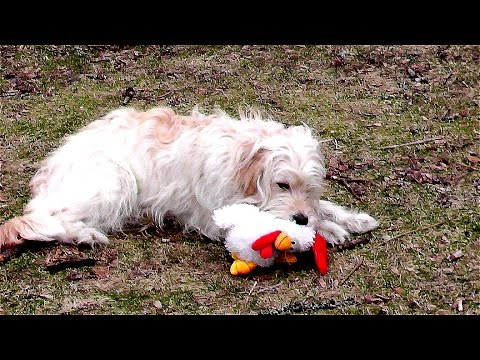 0 Cute dogs, Goldendoodle. Funny animal videos & funny stuffed animals with Ally. B set55 2015