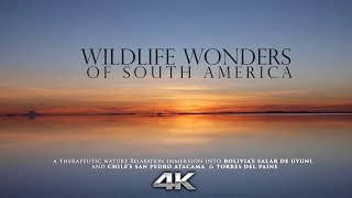 """""""Wildlife Wonders of South America"""" 4K Signature Nature Relaxation™ Film  Chile & Bolivia (No Music)"""