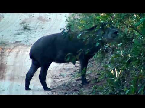 Tapir on the road, anta, Tapirus terrestris, fauna,