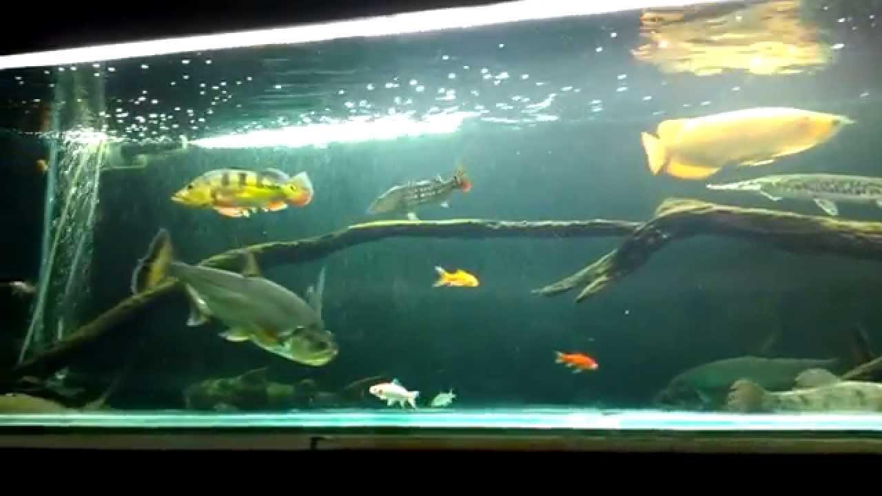Predator tank w big fish youtube for Big fish musical script