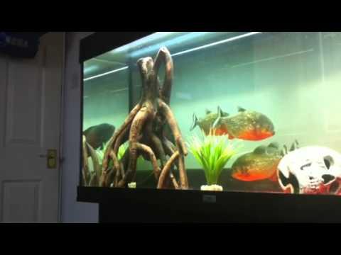 Piranha Fish Tank Piranha Amp Oscar Tank Update