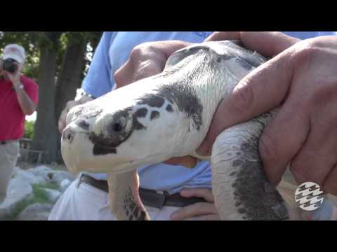 Kemp's Ridley Sea Turtle Release With Oceana