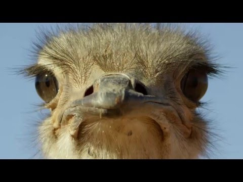 Ostrich: A Life On The Run [Trailer]