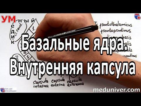 Базальные ядра. Внутренняя капсула - meduniver.com