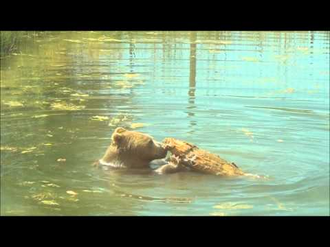 young grizzly in the water @ Yellowstone's Bear World!!!