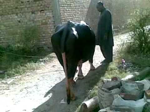 KhoKhar Maira Qurbani Janwar BB.mp4