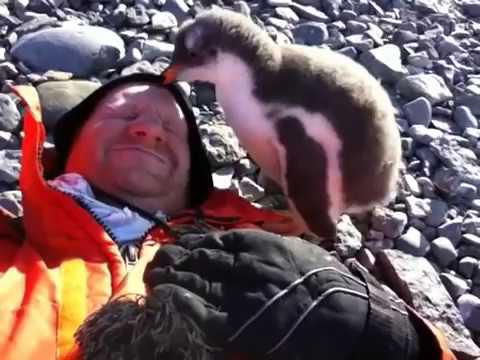 Un bébé pingouin rencontre un humain pour la première fois