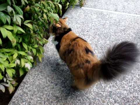 Long Haired Calico Cat Taking A Walk In The Garden YouTube