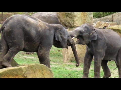 Slon indický, Asian elephant, Asiatischer Elefant, Азиатский слон, Słoń indyjski