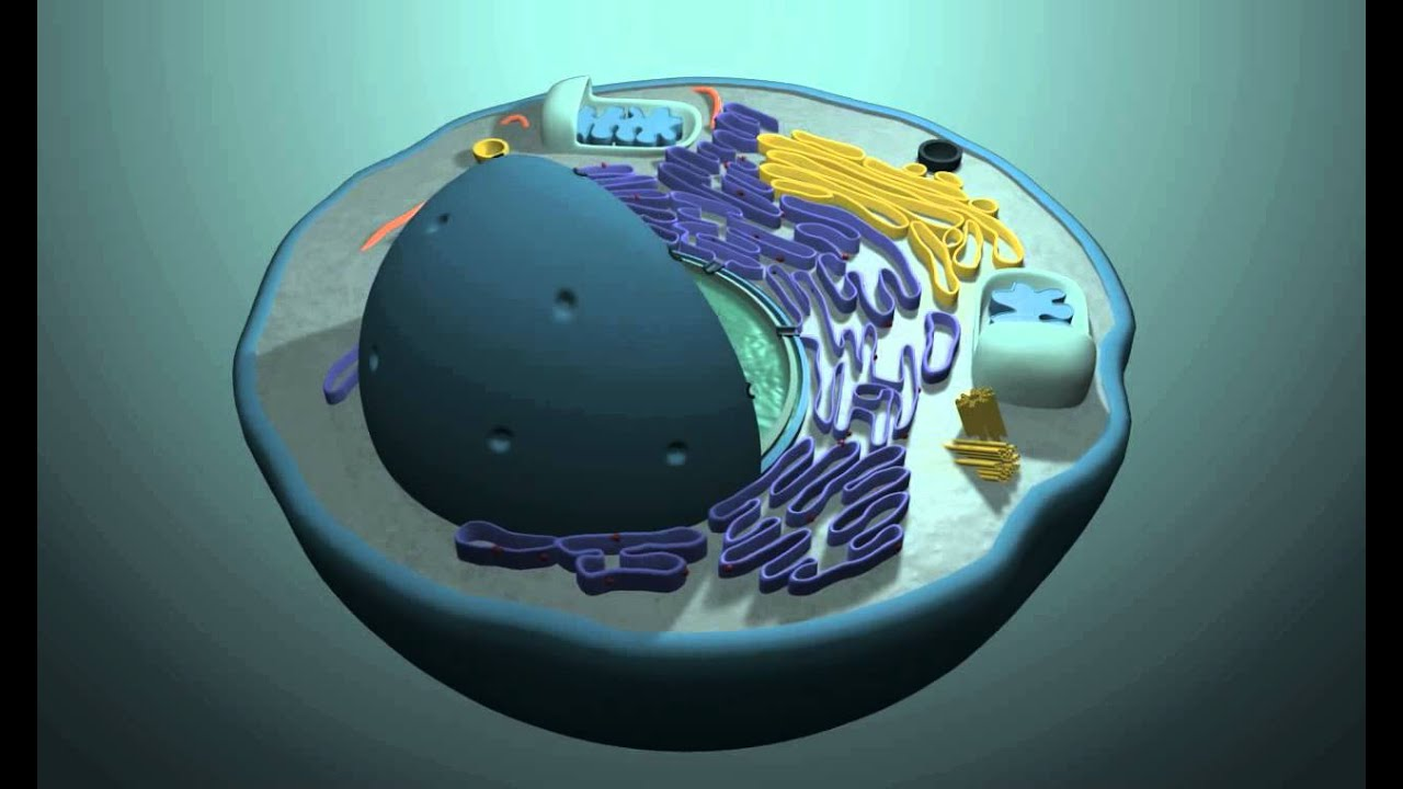 3d Images of Animal Cells 3d Animal Cell Model