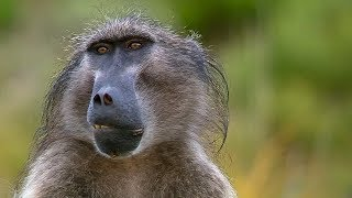 Sneaky Baboons Cause Mayhem For Crop Farmers | Animals with Cameras | Earth Unplugged