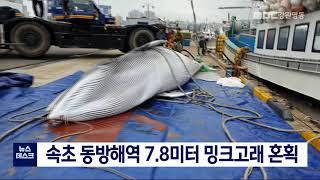 속초 동방해역 7.8미터 밍크고래 혼획