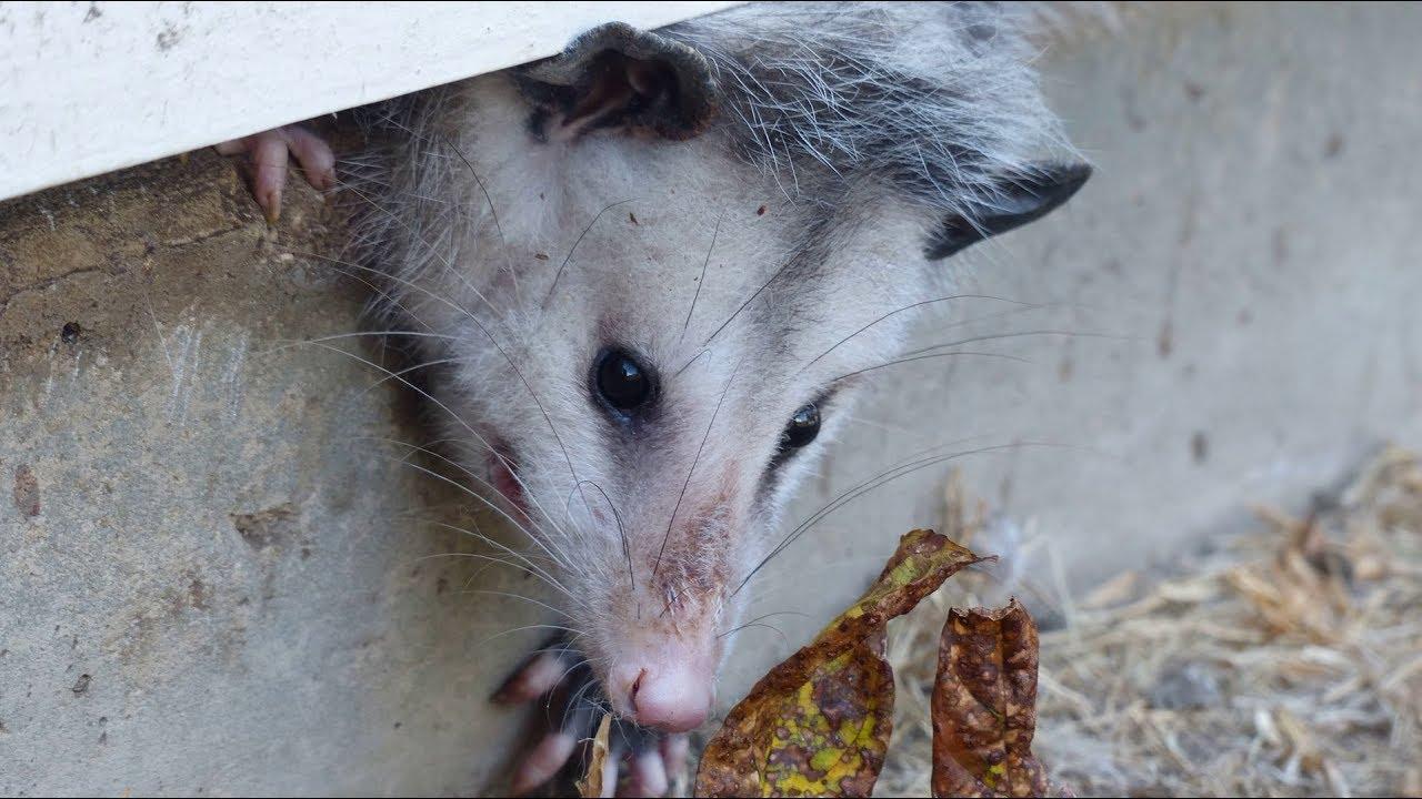 Opossum als haustier